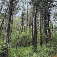 L.A. - Evergreen Oak (Spa)